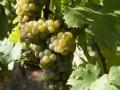 grappoli-uva-chiara