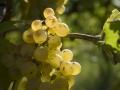 viticoltura-naturale