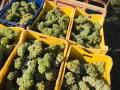 White grapes ready to enter out cellar