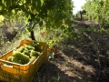 Grape harvest made without artificial or chemichal tools