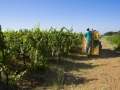 Our vineyards are checked constantly