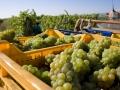I cesti di uva raccolta diventano tra i migliori vini della zona