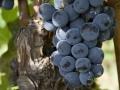uva-scura-chiara